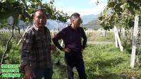 西藏林芝市察隅县猕猴桃园种植管理要点及溃疡病防控治养方案讲解