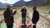 西藏山南市果树基地(苹果、梨、核桃、竹柳等)枝干病害治疗效果展示及防病治病,复壮方案讲解