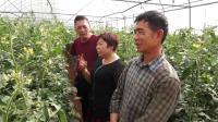 云南弥勒番茄用户周年用生态套餐5年,种植7年的番茄地没有死棵的苗子.mp4