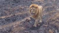 女子疯狂拍打笼子挑衅狮子,下一秒狮子突然站起来,镜头记录全程