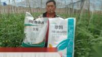 水溶肥排名-四川米易西红柿用拉姆拉翠姆系列套餐水溶肥苗子长势好,果面亮,没有任何病害