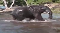 一头小象刚躲过鳄鱼的偷袭又遭狮子的捕猎,最终回到象群的怀抱,生存不易啊!