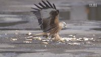 高速摄影机里的世界————老鹰捕食