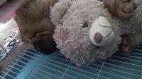 【萌犬仁球】两只小胖熊,睡得好香啊!