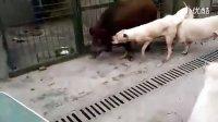 8个月大的杜高第一测试200斤野猪