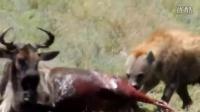 两个鬣狗活吃一牛羚