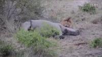 犀牛角被撞断后成为狮子的午餐
