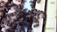 实拍蜘蛛偷袭落单蜜蜂 惨遭蜂群覆盖性还击