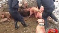 实拍数人带群狗战野猪!肚子都被野猪咬开了!
