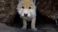 男子用遥控车接近雪狼窝拍摄可爱的小狼崽