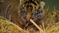 老虎要生小老虎全过程