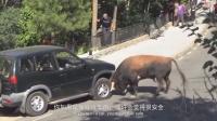 走进让人热血沸腾的西班牙斗牛,躲进车里却让汽车遭了秧