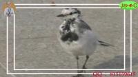 【实拍】搞笑的小鸟,好大胆哟