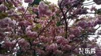樱花欣赏 音乐春暖花开 拍摄制作彩虹丹