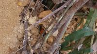 大马蜂蜂王黑尾胡蜂蜂王找虫子20190522_123341