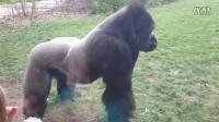 太猛 奥马哈动物园的银背大猩猩突袭游客 防爆玻璃都碎了