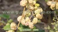 果桑品种介绍-白珍珠