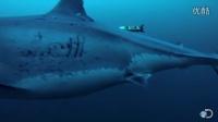 世界上最大的大白鲨之一
