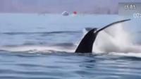 实拍:鲸鱼被困渔网被游客搭救 尾随游船跳跃致谢