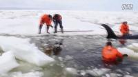 挑战性的救援行动,俄罗斯远东地区营救被困虎鲸