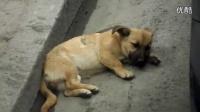可怜的小狗被车压了没人管/小熊的爱心世界