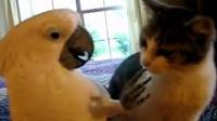 超贱鹦鹉调戏猫咪