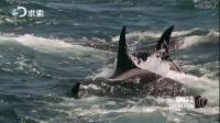 鲸鱼遭成群虎鲸捕食,场面惨烈!