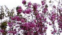 美丽乡村——盛开的樱花
