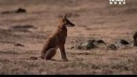犬科动物面对面:衣索比亚之狼.