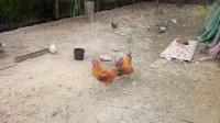 斗鸡,贵族vs田二,原地翻盘