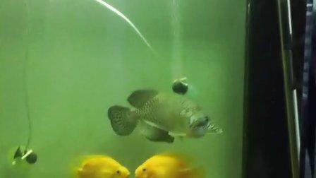 亲吻鱼-实拍办公室小鱼接吻 O(∩_∩)O