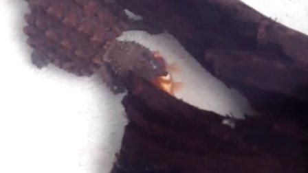 大鳄龟苗吃小鱼苗^_^