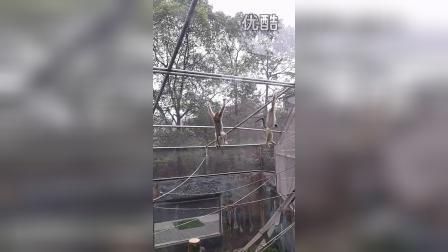 金丝猴的表演