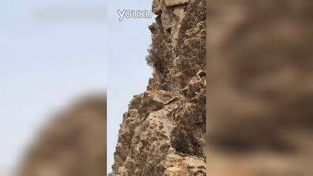燕山山脉崖柏活体