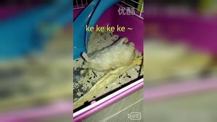 布丁仓鼠吃吃~为了吃苹果,形象算什么!