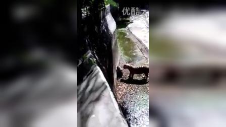 哈尔滨动物园老虎吃人