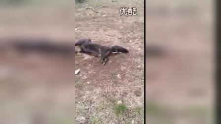 【华超】实拍秃鹰头搞笑卡在猪的屁股后面