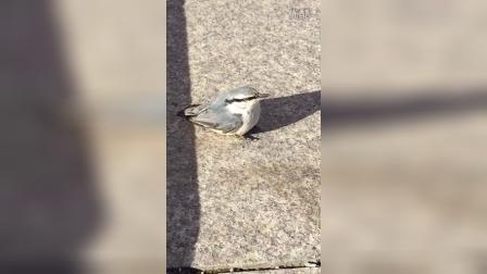 小鸟 蓝大胆