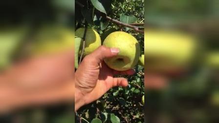 安徽砀山酥梨采摘《8秒》