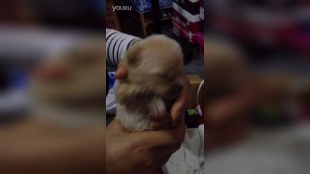 小奶狗喂上奶了 16天睁开眼睛