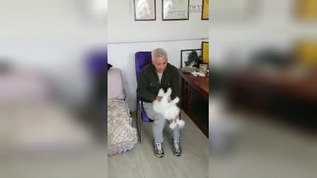 山东济宁嘉祥县考察兔子繁殖埸,示范催眠一只安哥拉长毛兔