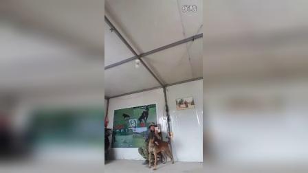 0537私人保镖犬订制
