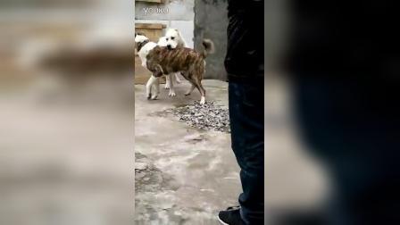 中亚疯爆一岁配种视频