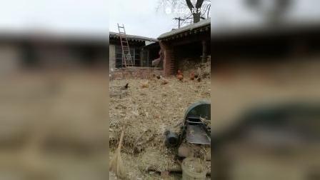 180301 群鸡乱舞在院中草堆