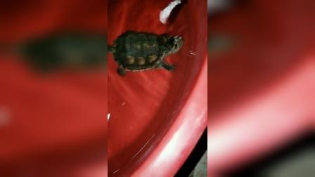 佛鳄龟吃食
