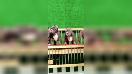 美国恶霸犬价格 美国恶霸犬多少钱一只照片