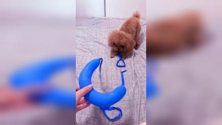 气球被玩烂了,狗狗瞬间懵!