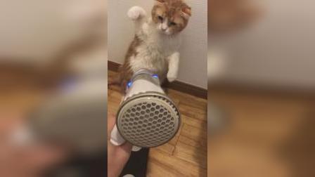 这是什么情况?小猫拒绝吹风!
