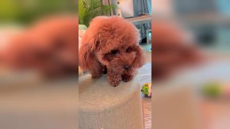狗狗上桌子偷吃被发现后