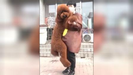 巨型贵宾犬价格巨贵好养吗贵宾犬图片贵宾犬造型